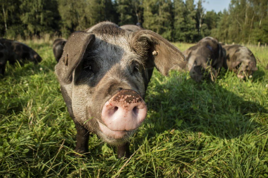 ÖWA - Bentheimer Schwein auf Freiland-Wiese